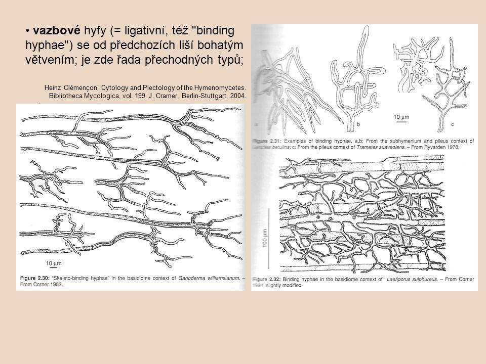 • vazbové hyfy (= ligativní, též binding hyphae ) se od předchozích liší bohatým větvením; je zde řada přechodných typů;