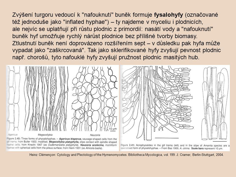 Zvýšení turgoru vedoucí k nafouknutí buněk formuje fysalohyfy (označované též jednoduše jako inflated hyphae ) – ty najdeme v myceliu i plodnicích, ale nejvíc se uplatňují při růstu plodnic z primordií: nasátí vody a nafouknutí buněk hyf umožňuje rychlý nárůst plodnice bez přílišné tvorby biomasy. Ztlustnutí buněk není doprovázeno rozšířením sept – v důsledku pak hyfa může vypadat jako zaškrcovaná . Tak jako sklerifikované hyfy zvyšují pevnost plodnic např. chorošů, tyto nafouklé hyfy zvyšují pružnost plodnic masitých hub.