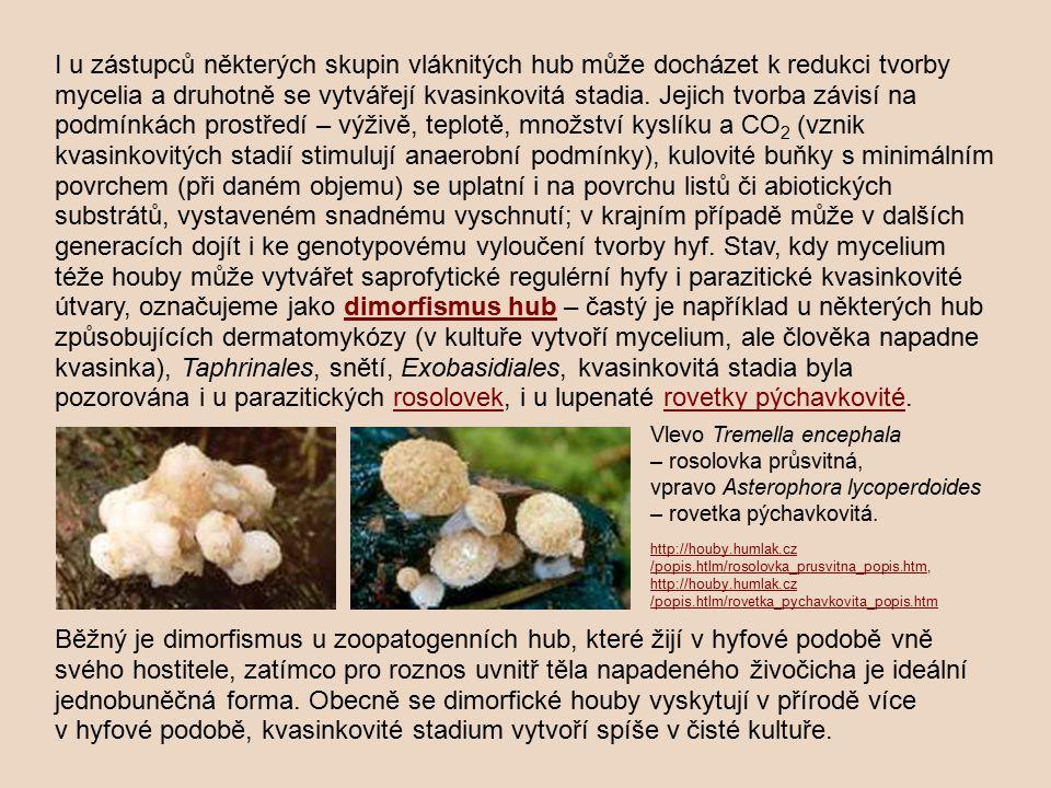I u zástupců některých skupin vláknitých hub může docházet k redukci tvorby mycelia a druhotně se vytvářejí kvasinkovitá stadia. Jejich tvorba závisí na podmínkách prostředí – výživě, teplotě, množství kyslíku a CO2 (vznik kvasinkovitých stadií stimulují anaerobní podmínky), kulovité buňky s minimálním povrchem (při daném objemu) se uplatní i na povrchu listů či abiotických substrátů, vystaveném snadnému vyschnutí; v krajním případě může v dalších generacích dojít i ke genotypovému vyloučení tvorby hyf. Stav, kdy mycelium téže houby může vytvářet saprofytické regulérní hyfy i parazitické kvasinkovité útvary, označujeme jako dimorfismus hub – častý je například u některých hub způsobujících dermatomykózy (v kultuře vytvoří mycelium, ale člověka napadne kvasinka), Taphrinales, snětí, Exobasidiales, kvasinkovitá stadia byla pozorována i u parazitických rosolovek, i u lupenaté rovetky pýchavkovité.