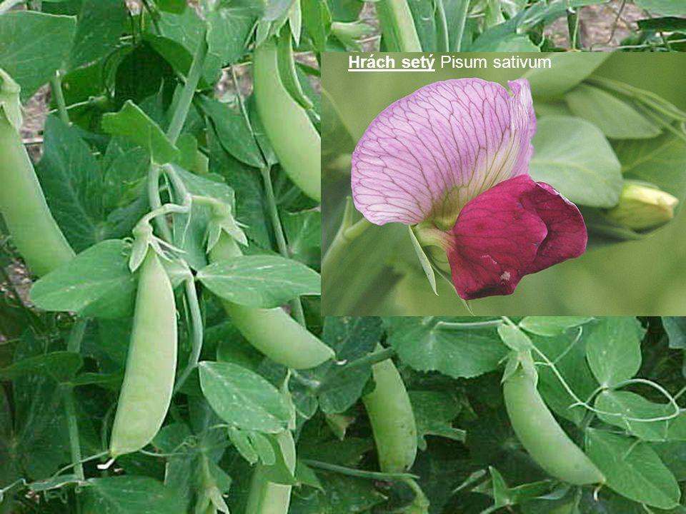 Hrách setý Pisum sativum