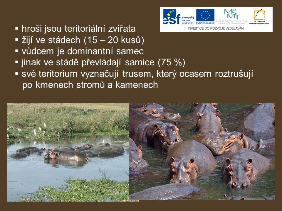 hroši jsou teritoriální zvířata