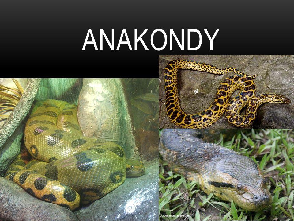 Anakondy