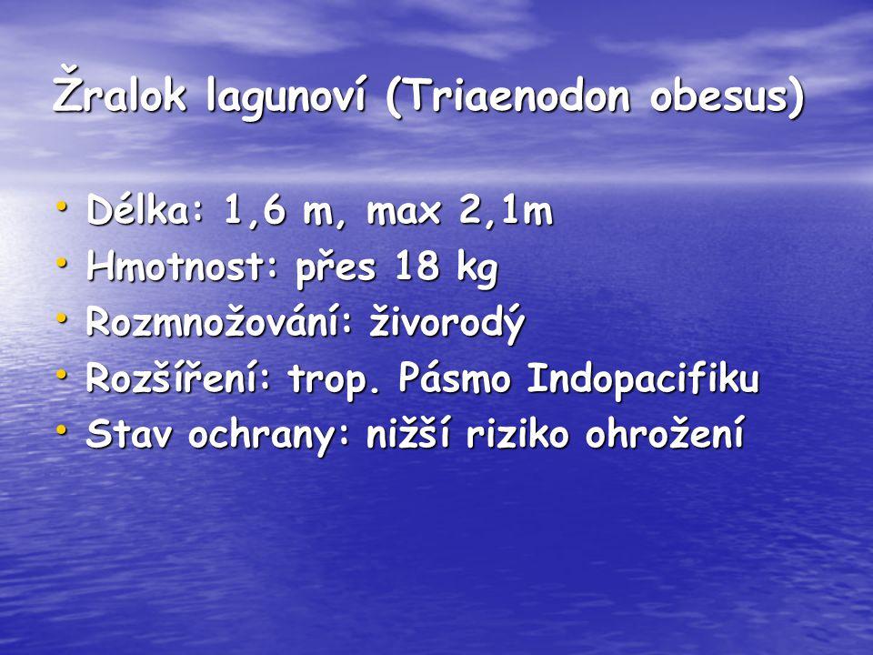 Žralok lagunoví (Triaenodon obesus)