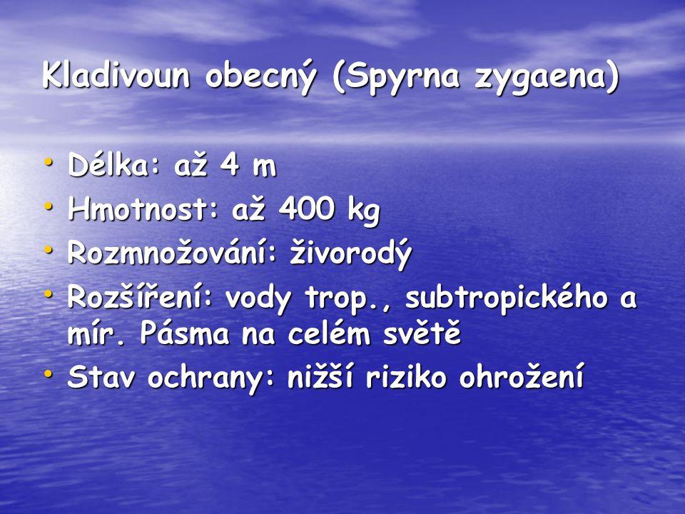 Kladivoun obecný (Spyrna zygaena)
