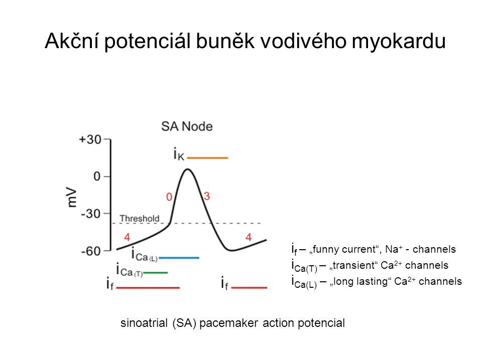 Akční potenciál buněk vodivého myokardu