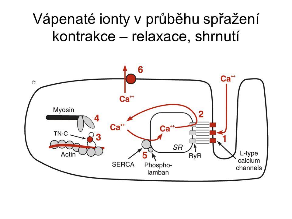 Vápenaté ionty v průběhu spřažení kontrakce – relaxace, shrnutí