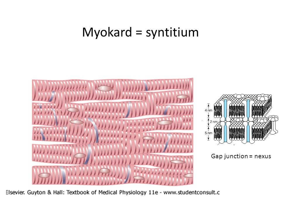 Myokard = syntitium Gap junction = nexus