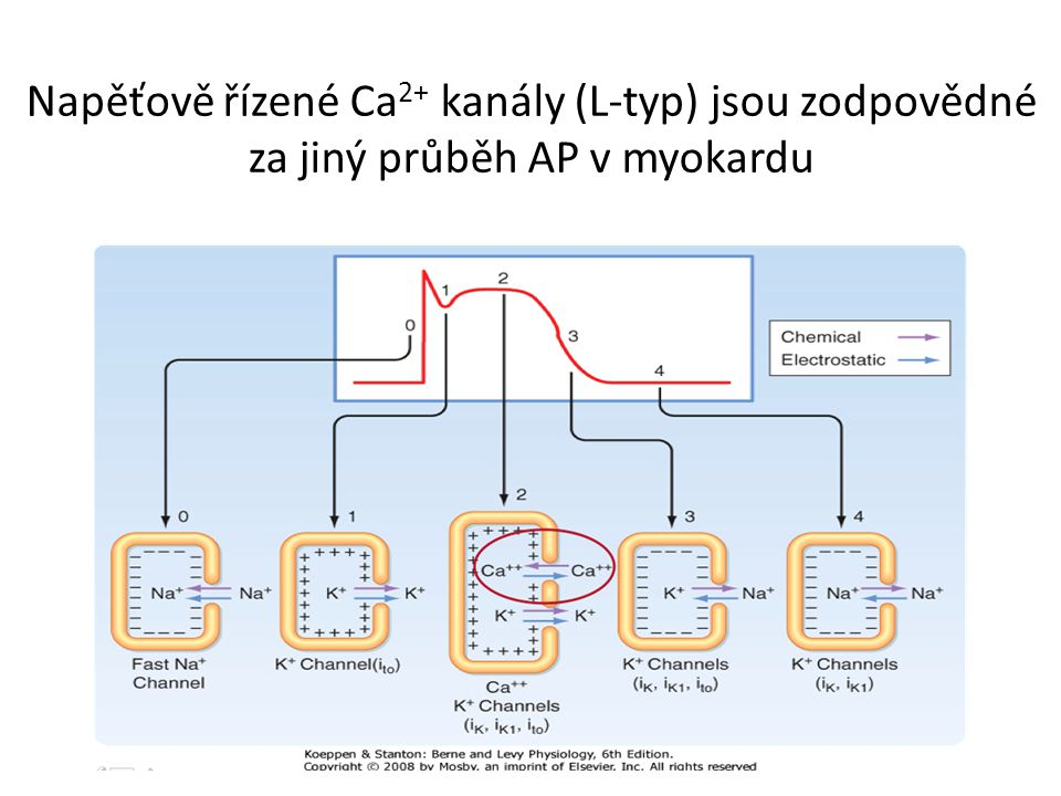 Napěťově řízené Ca2+ kanály (L-typ) jsou zodpovědné za jiný průběh AP v myokardu