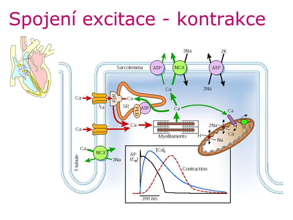 Spojení excitace - kontrakce