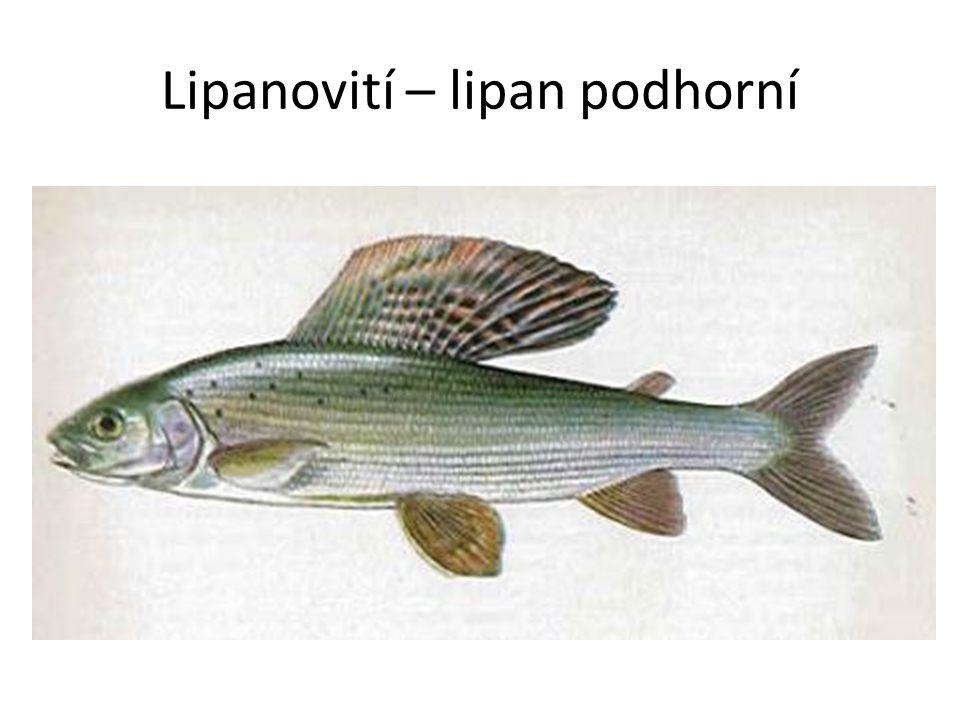Lipanovití – lipan podhorní