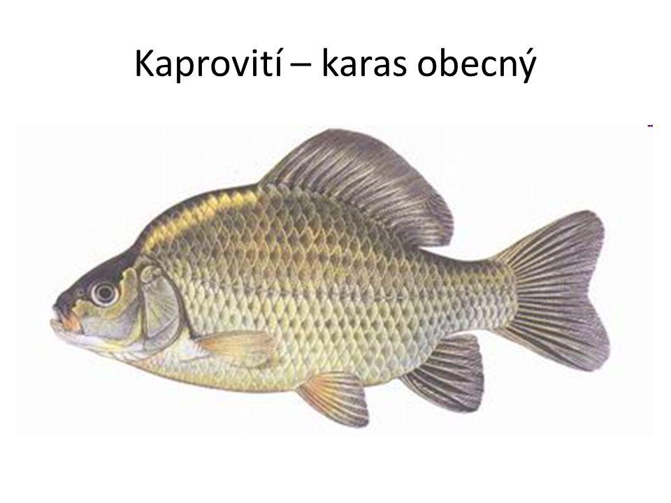 Kaprovití – karas obecný