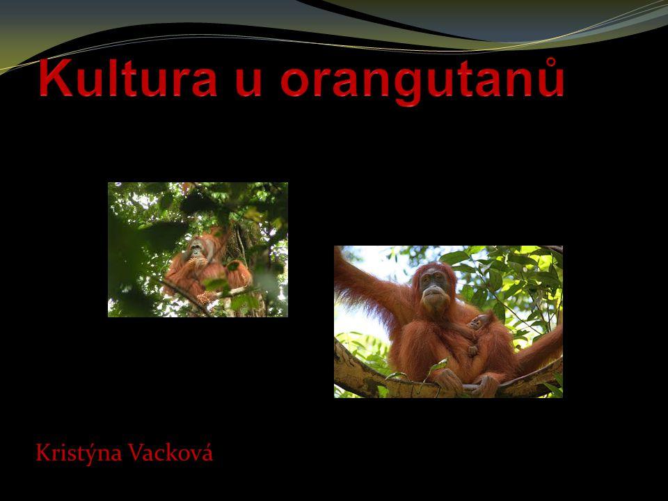 Kultura u orangutanů Kristýna Vacková