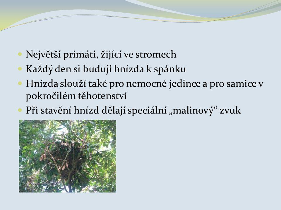 Největší primáti, žijící ve stromech