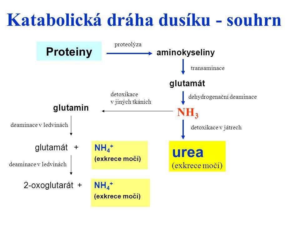 Katabolická dráha dusíku - souhrn