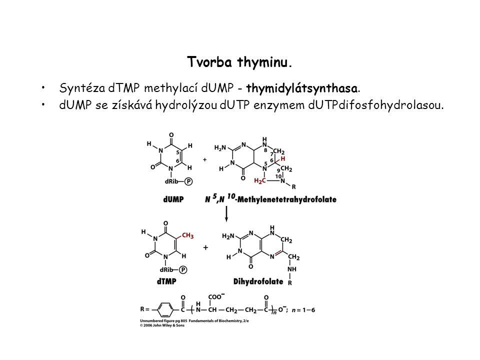 Tvorba thyminu. Syntéza dTMP methylací dUMP - thymidylátsynthasa.
