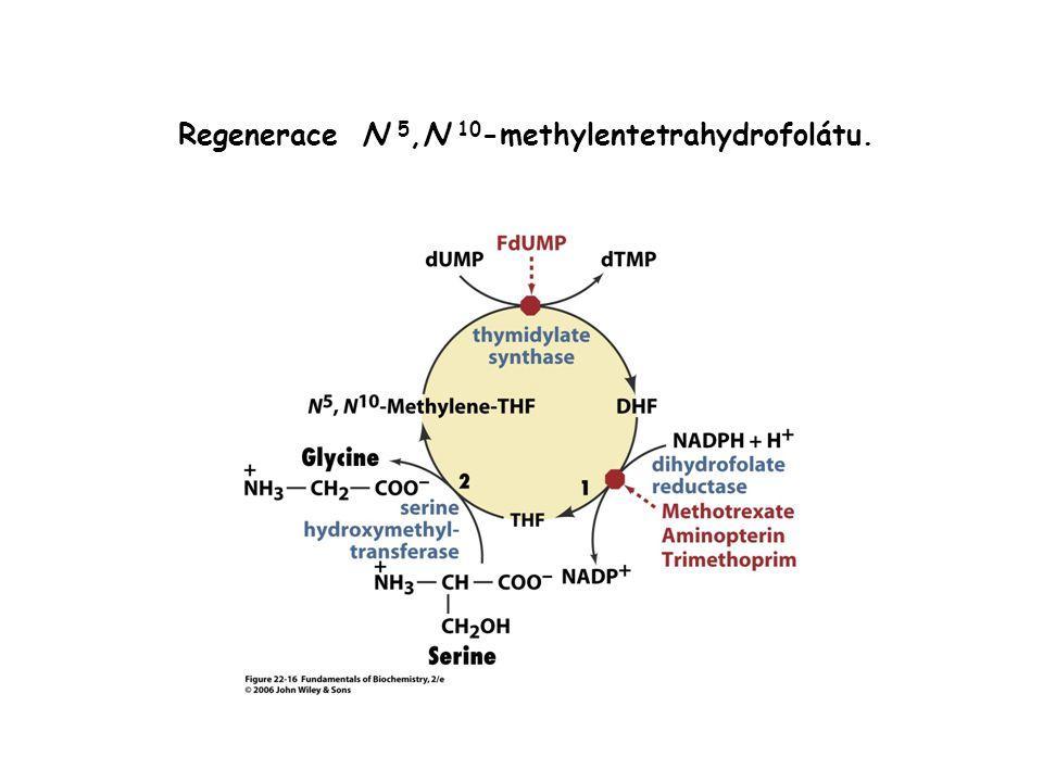 Regenerace N 5,N 10-methylentetrahydrofolátu.