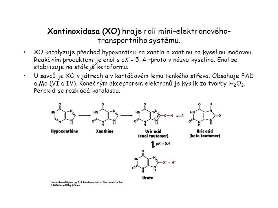 Xantinoxidasa (XO) hraje roli mini-elektronového-transportního systému.