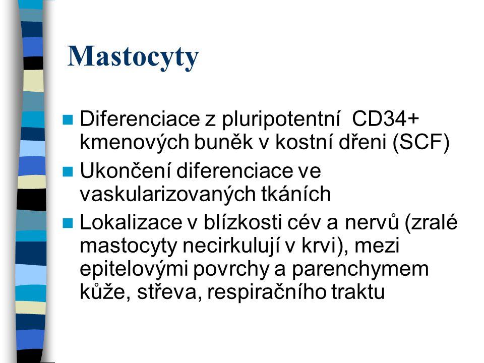 Mastocyty Diferenciace z pluripotentní CD34+ kmenových buněk v kostní dřeni (SCF) Ukončení diferenciace ve vaskularizovaných tkáních.