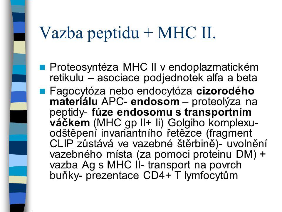 Vazba peptidu + MHC II. Proteosyntéza MHC II v endoplazmatickém retikulu – asociace podjednotek alfa a beta.