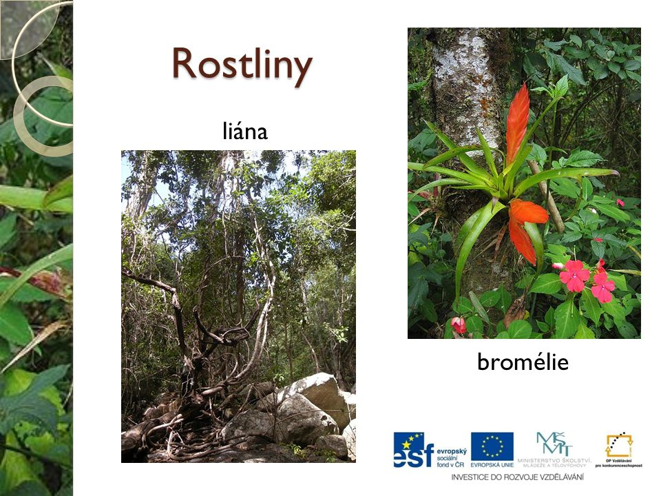 Rostliny liána bromélie