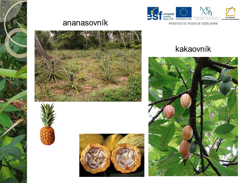 ananasovník kakaovník