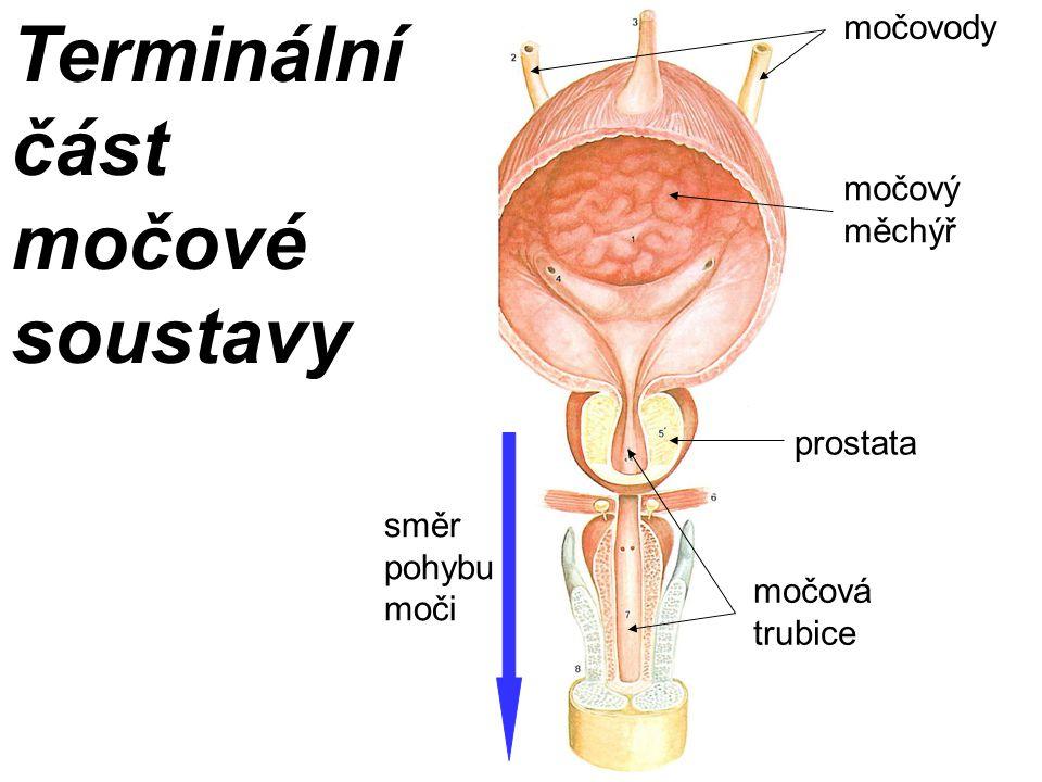 Terminální část močové soustavy