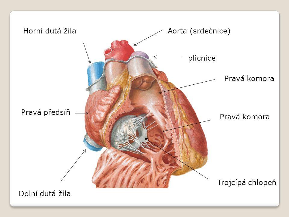 Horní dutá žíla Aorta (srdečnice) plicnice. Pravá komora. Pravá předsíň. Pravá komora. Trojcípá chlopeň.