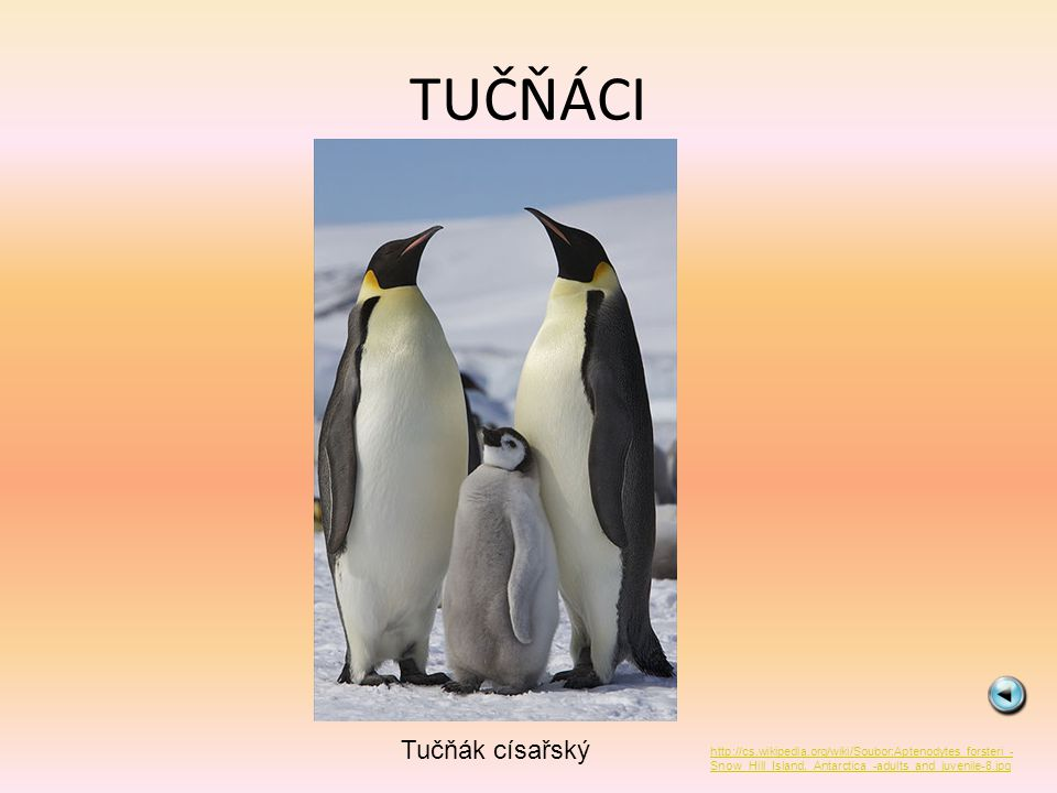 TUČŇÁCI Tučňák císařský