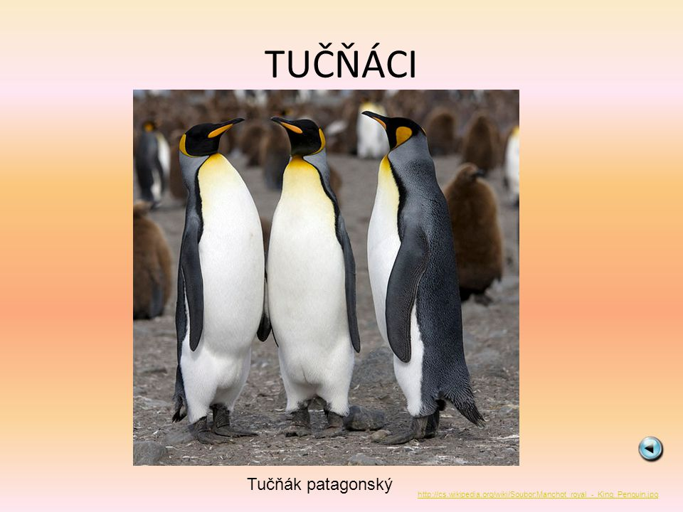 TUČŇÁCI Tučňák patagonský