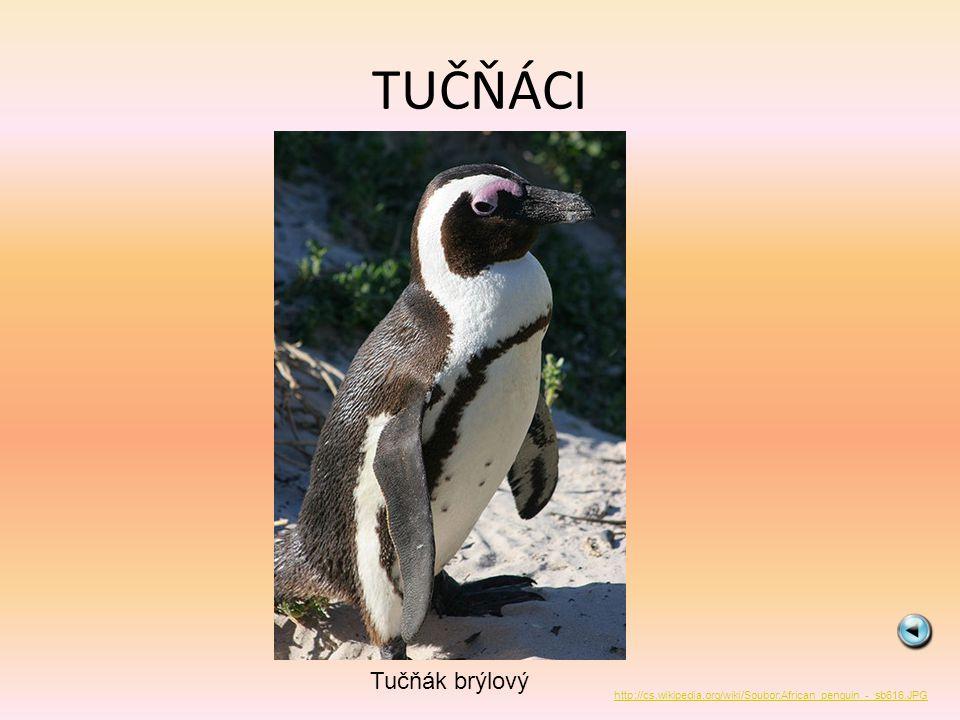 TUČŇÁCI Tučňák brýlový