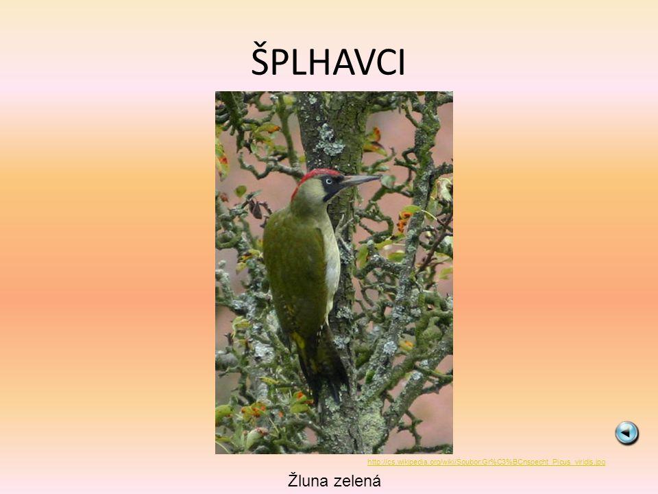 ŠPLHAVCI http://cs.wikipedia.org/wiki/Soubor:Gr%C3%BCnspecht_Picus_viridis.jpg Žluna zelená