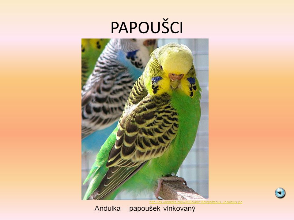 Andulka – papoušek vlnkovaný