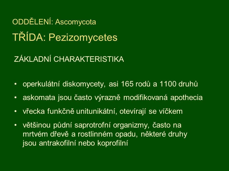 ODDĚLENÍ: Ascomycota TŘÍDA: Pezizomycetes