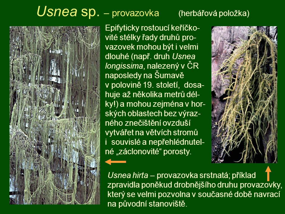 Usnea sp. – provazovka (herbářová položka)