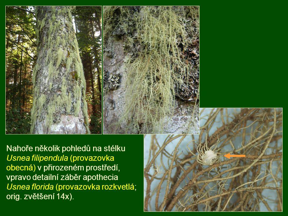 Nahoře několik pohledů na stélku Usnea filipendula (provazovka obecná) v přirozeném prostředí,