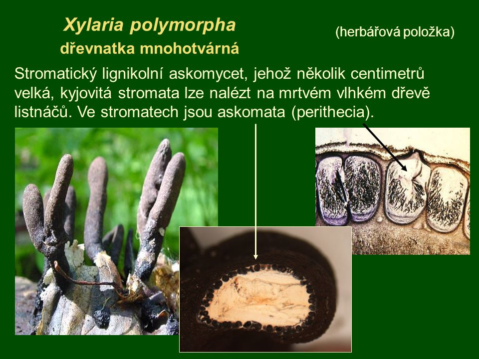 Xylaria polymorpha dřevnatka mnohotvárná