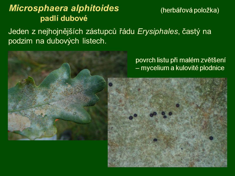Microsphaera alphitoides