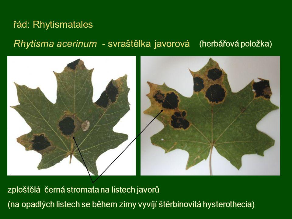 Rhytisma acerinum - svraštělka javorová