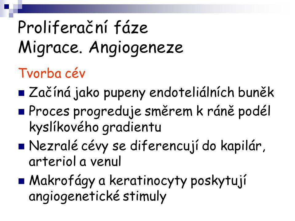 Proliferační fáze Migrace. Angiogeneze