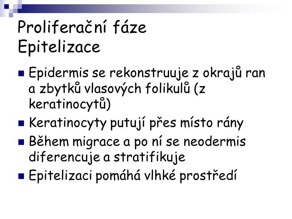Proliferační fáze Epitelizace