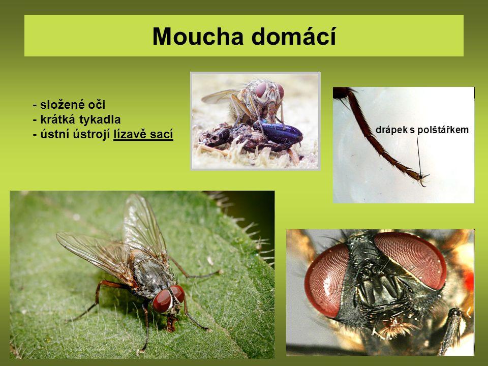 Moucha domácí - složené oči - krátká tykadla