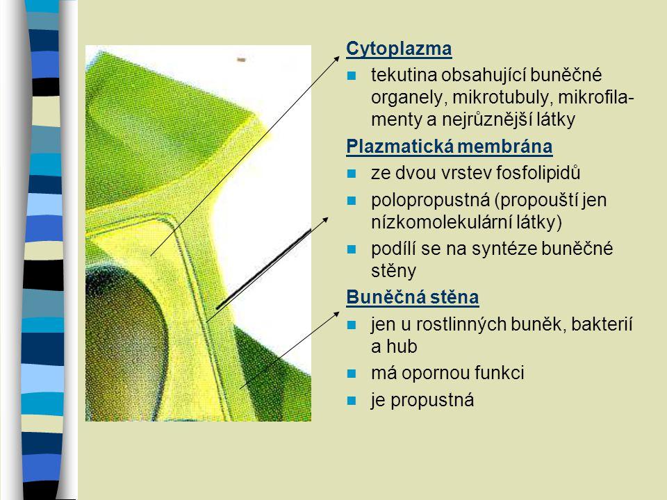 Cytoplazma tekutina obsahující buněčné organely, mikrotubuly, mikrofila-menty a nejrůznější látky. Plazmatická membrána.