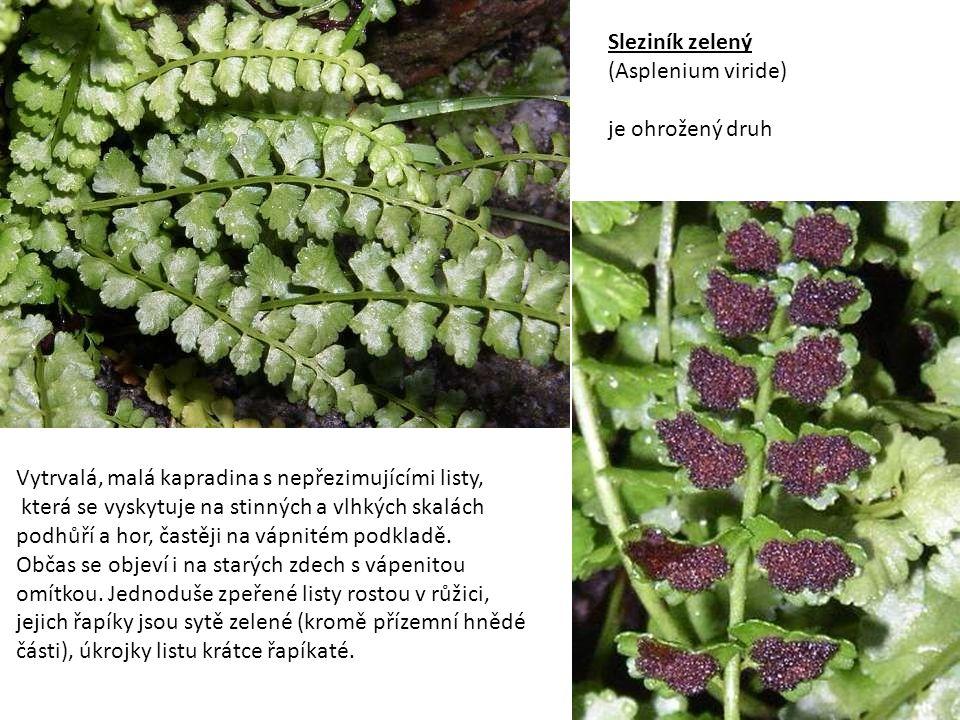 Sleziník zelený (Asplenium viride) je ohrožený druh. Vytrvalá, malá kapradina s nepřezimujícími listy,