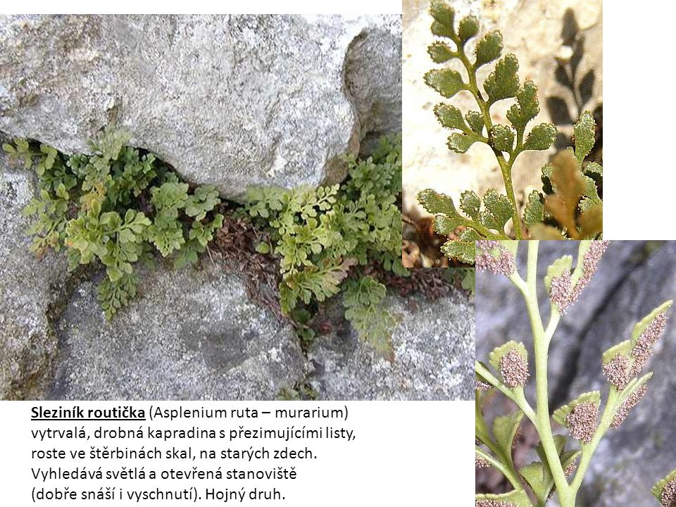 Sleziník routička (Asplenium ruta – murarium)