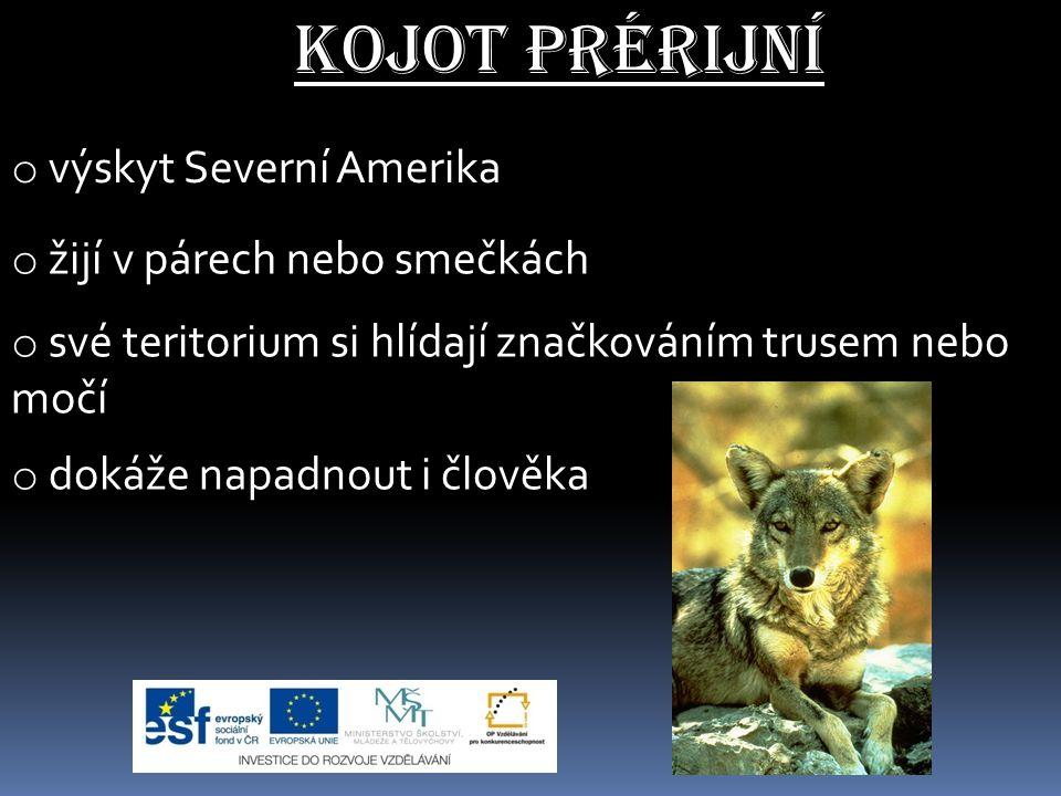 Kojot prérijní výskyt Severní Amerika žijí v párech nebo smečkách
