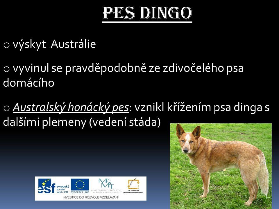 Pes dingo výskyt Austrálie