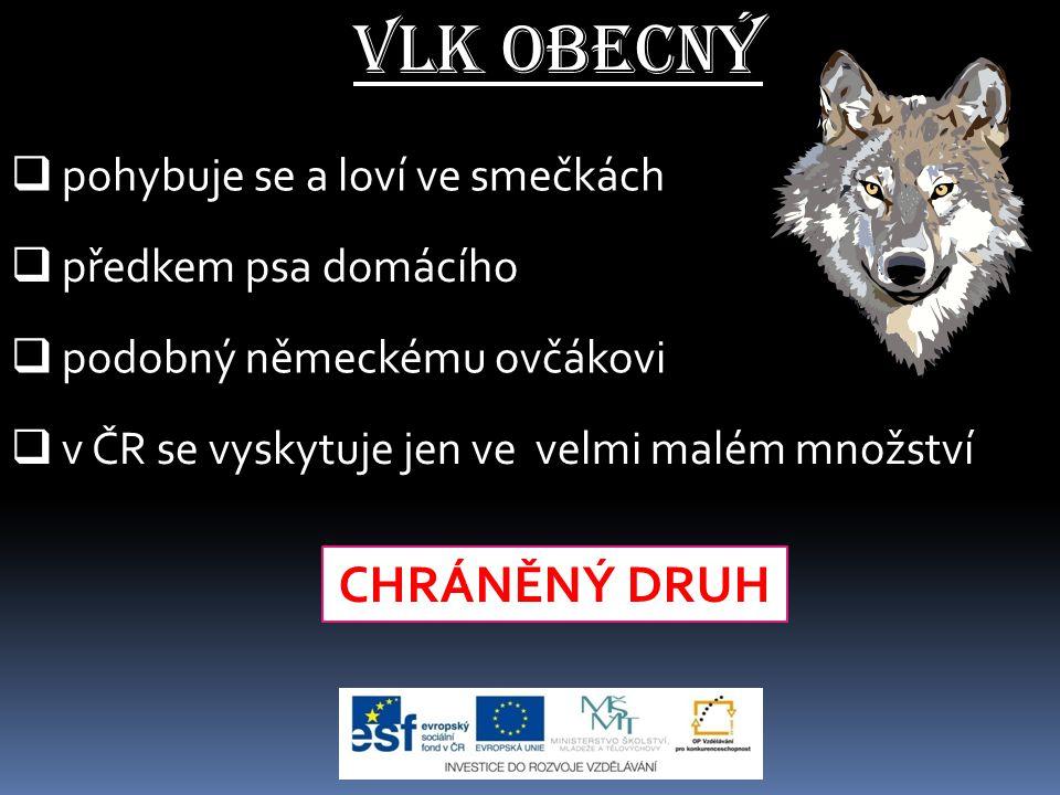 Vlk obecný CHRÁNĚNÝ DRUH pohybuje se a loví ve smečkách