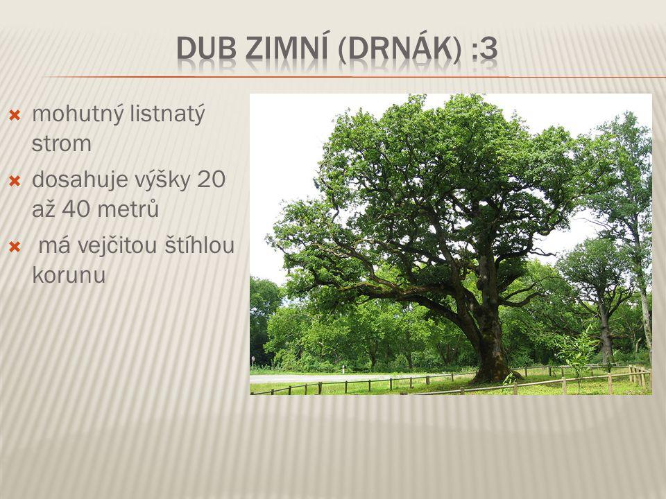 Dub zimní (drnák) :3 mohutný listnatý strom