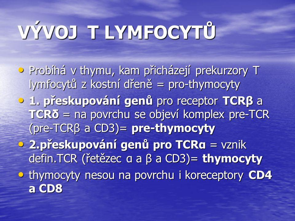 VÝVOJ T LYMFOCYTŮ Probíhá v thymu, kam přicházejí prekurzory T lymfocytů z kostní dřeně = pro-thymocyty.