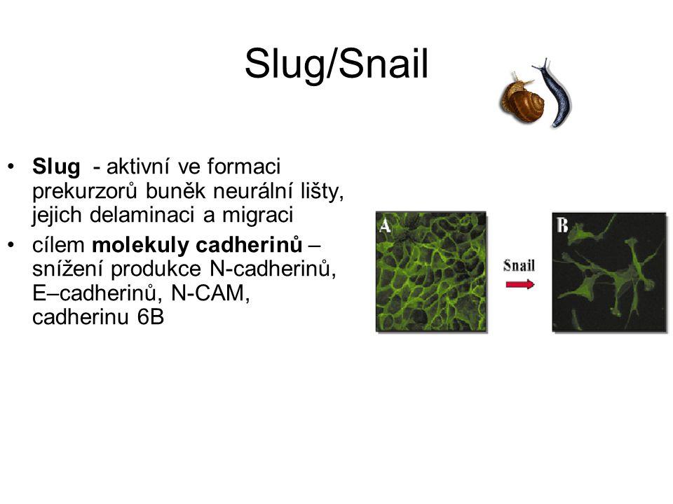 Slug/Snail Slug - aktivní ve formaci prekurzorů buněk neurální lišty, jejich delaminaci a migraci.